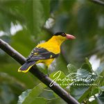 Kepodang / Black-naped Oriole