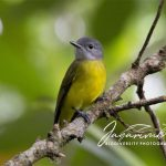 Sikatan Kepala Abu / Grey-headed Flycatcher