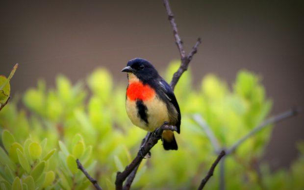 Mengenal Burung Endemik Baru Flores; Cabai Flores