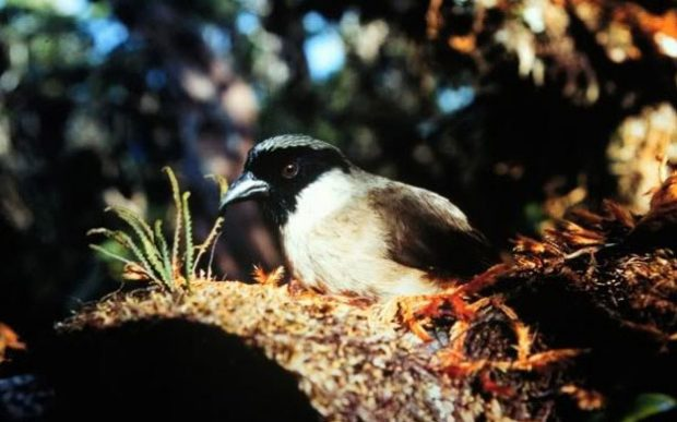 Akhir Kisah Poʻouli, Burung Yang Dinyatakan Punah Pada 2004 Silam