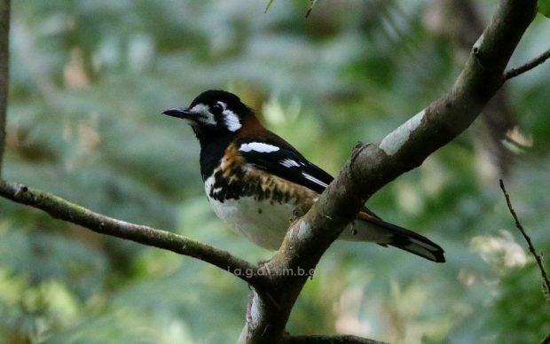 Burung – Burung Penghuni Hutan Danau Ranamese, Flores