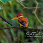 Rufous-backed Kingfisher, Flores