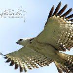 Elang-Flores - Flores-Hawk-Eagle