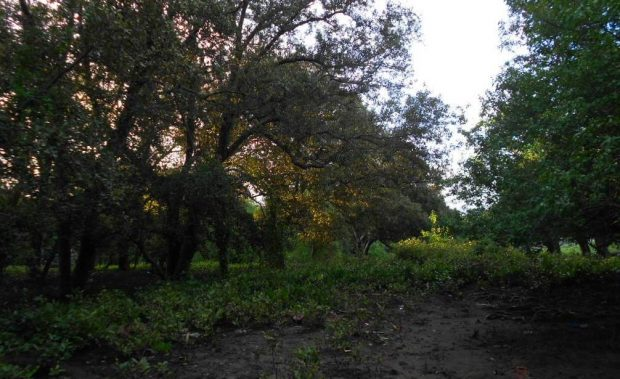 Mangrove Muara Borong Yang Sekarat