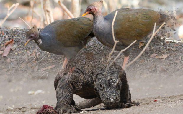 Masa Depan Komodo di Kaki Mungil Burung Gosong